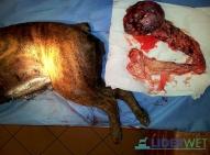 Bokser 8 lat, gruczolakorak torbielowaty jajnika. Pacjent wraca do zdrowia, oczekuje na zabieg usunięcia guza sutka.